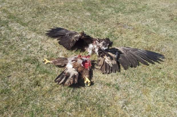 RSPB says Wind Turbines do not kill Birds - See these shocking photos! (3/3)